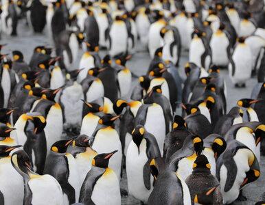 Homoseksualne pingwiny zdobyły popularność! Zobaczcie ich zdjęcie