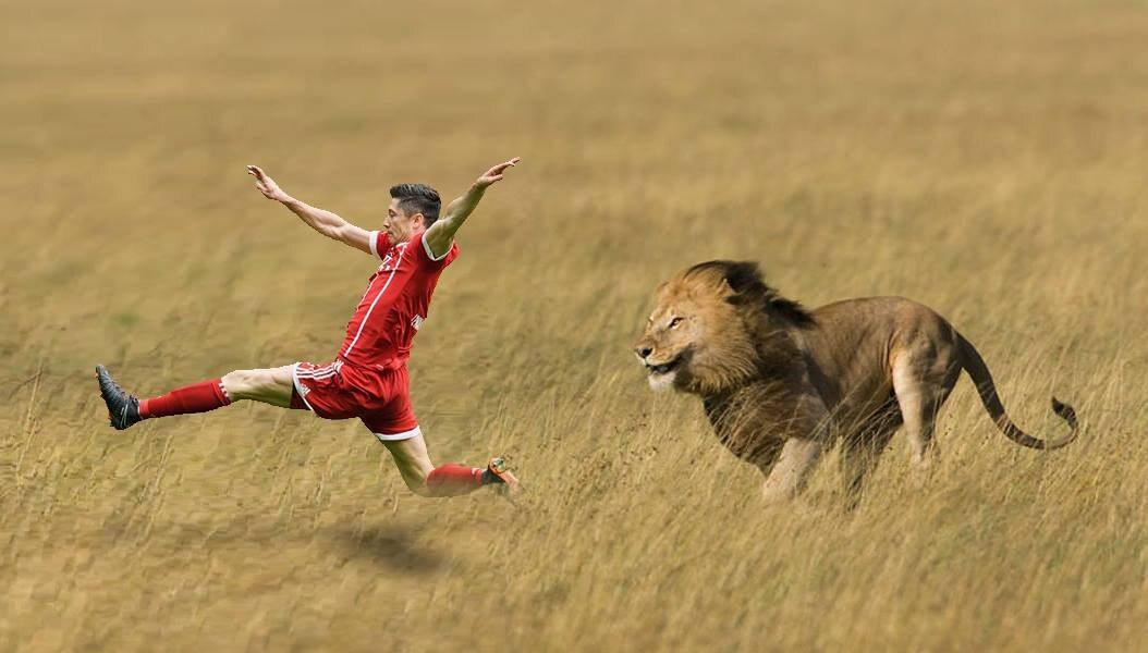 Robert Lewandowski ucieka przed lwem