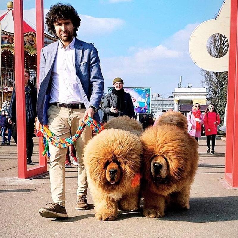 Mastify tybetańskie z hodowli Kinu Liutas Kennel