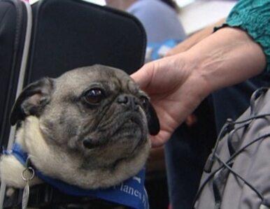Lotnisko zatrudniło psy do... rozśmieszania pasażerów