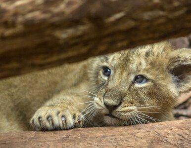 """Cztery lwiątka zamarzły w zoo. """"Nie mogliśmy im zapewnić jedzenia i leków"""""""