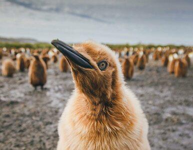 """Robi zdjęcia... pingwinom. """"Wcale im to nie przeszkadza"""""""