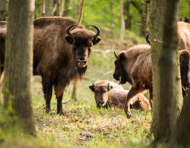 Zmiany w Czerwonej księdze gatunków zagrożonych. Chodzi o żubra