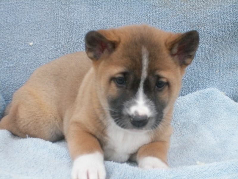 Śpiewający pies z Nowej Gwinei, szczenię urodzone w 2010 roku