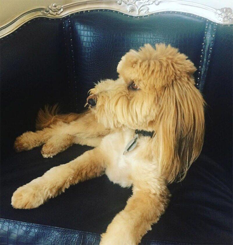 """Pies z fryzurą """"na czeskiego piłkarza"""""""