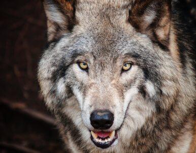 Krok po kroku do ochrony wilka i co z tego wynikło