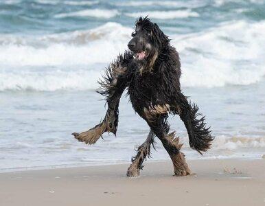 Śmieszne zdjęcia psów. Te zwierzęta nakryto w dziwnych pozycjach