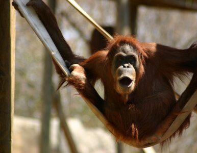Najstarszy orangutan na świecie skończył 50 lat