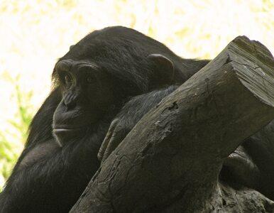 USA: naukowcy przestaną wykorzystywać szympansy do badań?
