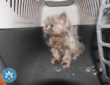 Piaseczno. Dziesiątki kotów w stanie agonalnym uratowane z rąk hodowcy....