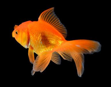 Dlaczego złotych rybek nie należy wypuszczać do stawów i jezior? Te...