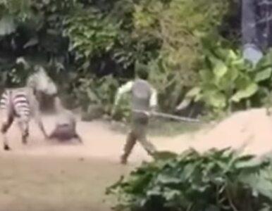 Pracownik zoo brutalnie zaatakowany przez zebrę. Zobacz dramatyczne...
