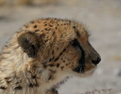 Gepardy we wschodniej Afryce mogą wyginąć w ciągu dwóch lat. Wszystko...