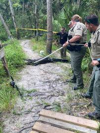 Operacja zatrzymania aligatora w w Parku Halpatiokee