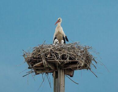 Naukowcy zbadali bocianie gniazda. Wyniki badań zaskakują