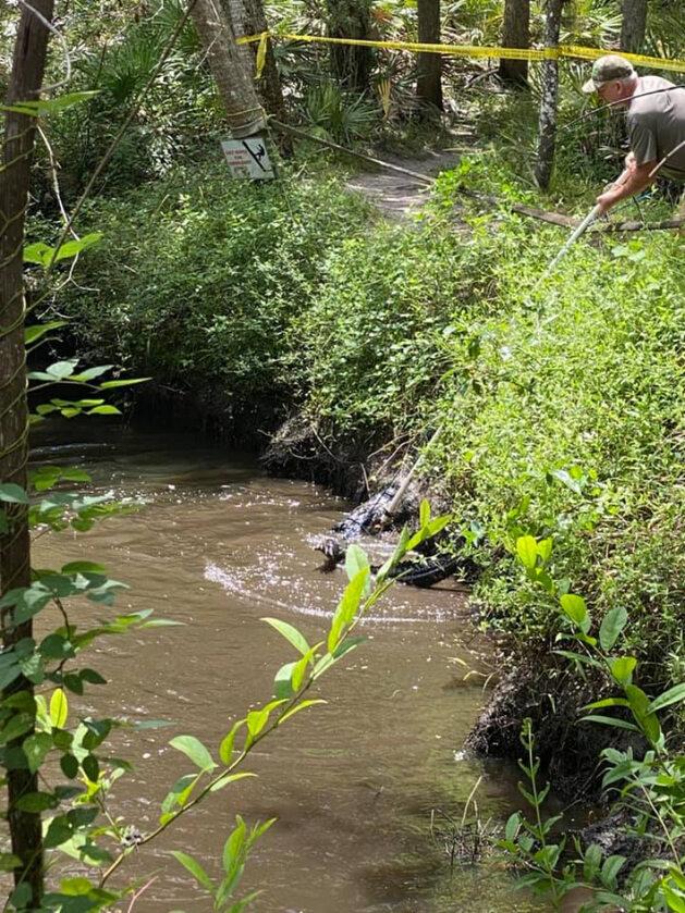 Zdjęcie z operacji zatrzymania aligatora w w Parku Halpatiokee