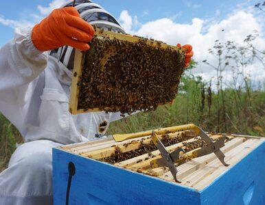 Miejskie pasieki szkodzą pszczołom? Naukowcy nie mają wątpliwości