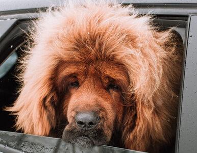 Pies, który wygląda jak lew. Jego kariera dopiero nabiera tempa