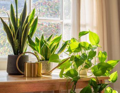 Rośliny oczyszczające powietrze: 20 polecanych roślin według NASA