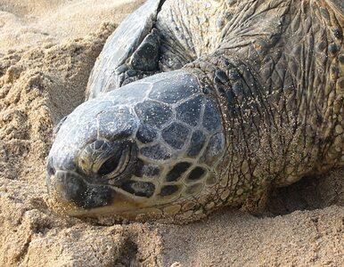 Chronił żółwie, zastrzelili go kłusownicy
