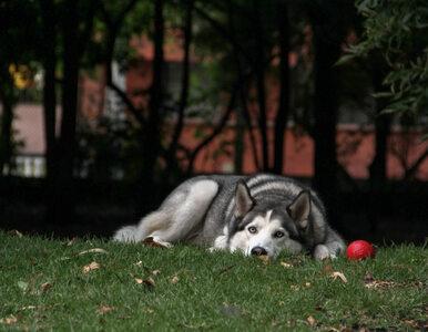 Niszczycielski zryw w wykonaniu psa. Właściciel nie mógł zareagować inaczej