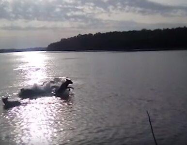 Pies połknięty w całości. Właściciel stał na brzegu i nagrywał