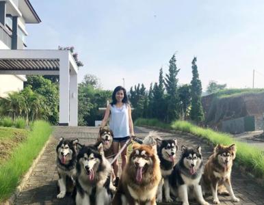 Mieszkanka Indonezji ma 13 psów. To rasa alaskan malamute