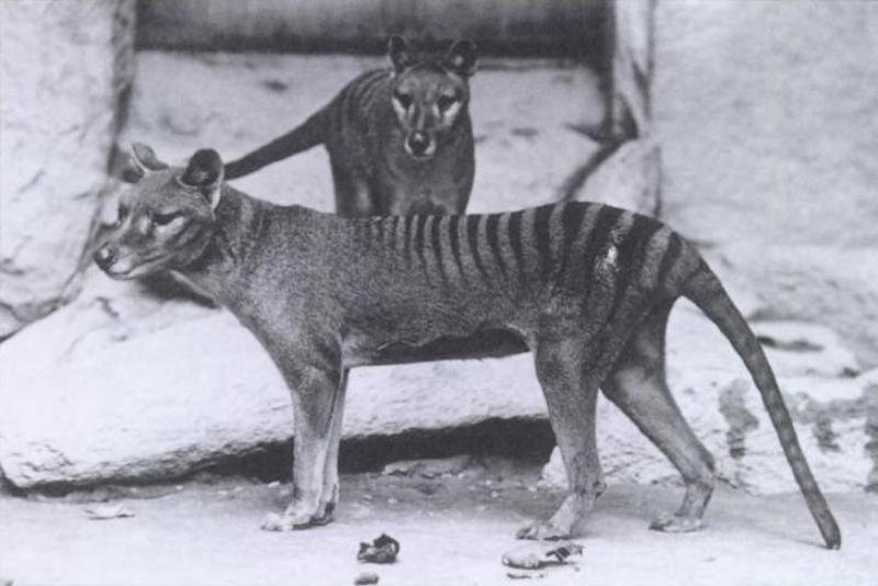 Na zdjęciu widzimy wilkowory tasmańskie. Czy te zwierzęta żyją na Ziemi czy wyginęły?