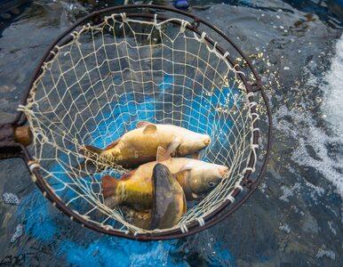 Dramat hodowców karpi. Nawet 5 mln ryb może nie trafić w tym roku na...