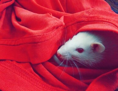 Unikatowe myszy pomogą naukowcom zrozumieć tempo rozwoju nowotworów