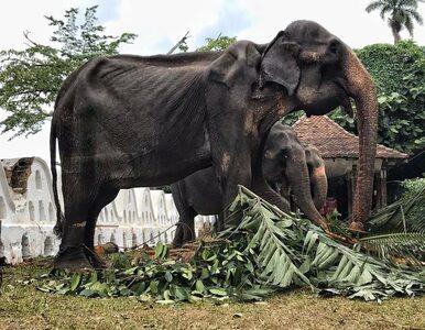Słonica Tikiri nie żyje. Ludzie zgotowali jej potworny los