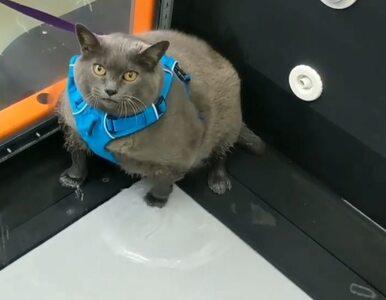 """Ludzie utożsamiają się z otyłym kotem. Filmik z jego """"ćwiczeń"""" jest..."""