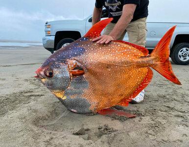 Strojnik – gigant znaleziony na plaży w Oregonie. Ważył 45 kilogramów