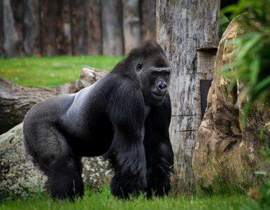 Naukowcy ostrzegają: Dziesiątki ssaków mogą być podatne na SARS-CoV-2