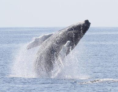 """Wyławiają ciężarne wieloryby i je zabijają. """"Dla celów naukowych"""""""