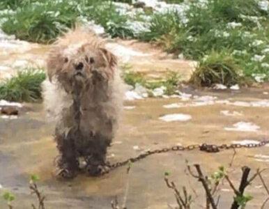 Pies Rocco był w tragicznym stanie. Przemiana czworonoga daje nadzieję