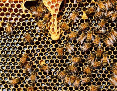 Czy wosk pszczeli jest produktem wegańskim? Tego mogłeś nie wiedzieć