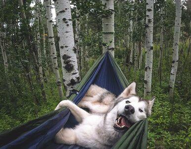Ten pies prowadzi niezwykłe życie podróżnika. Poznajcie Lokiego!