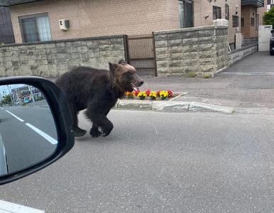 Japonia. Niedźwiedź biegał po ulicach, raniąc ludzi. Został zastrzelony