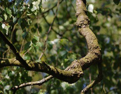 Chodnik ułożony zygzakiem ze względu na drzewa i feng szui
