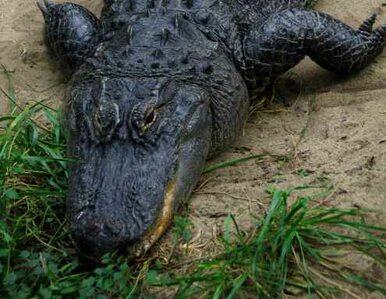 Ponad 300-kilogramowy gad zabity przez łowców aligatorów