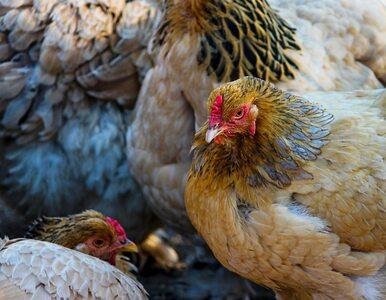 Potwierdzono pierwsze przypadki ptasiej grypy H5N8 u ludzi