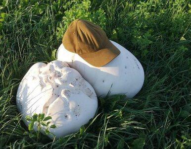 Jedne z największych grzybów na świecie wyrosły w uroczysku Sosnowo. Są...