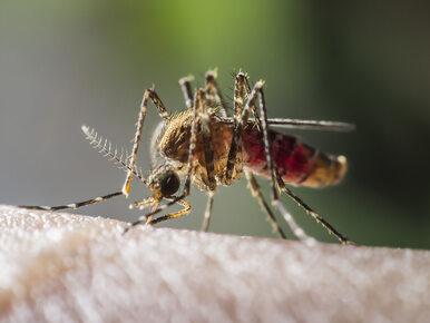 Zbliża się szczyt rozwoju komarów. Jak się przed nimi chronić?