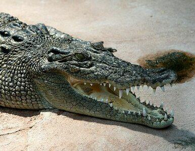 Polak zaatakowany przez krokodyla w basenie