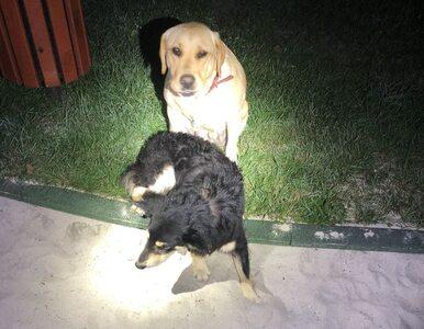 Kundelek leżał w rowie, pilnował go inny pies. Wył i zaczepiał ludzi,...