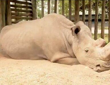 """""""Tak wygląda wymieranie"""". Poruszające zdjęcie ostatniego samca nosorożca..."""