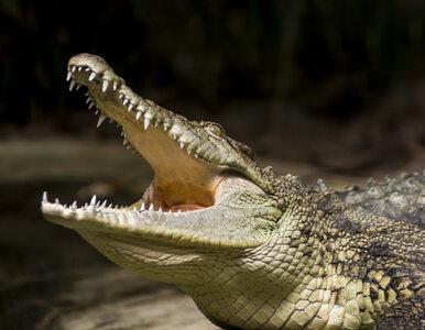 Torebka aligatora za 70 tys. zł zniszczona z powodu braku zezwolenia