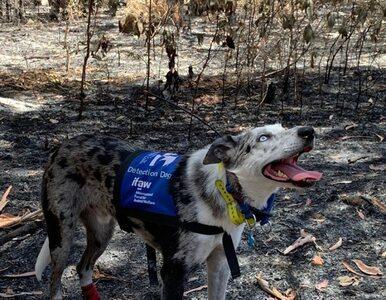 """Niezwykły pies ratuje misie koala z pożarów. """"Gdyby ich nie zauważył,..."""