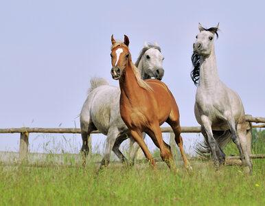 Katarczycy pozwą hodowlę koni w Michałowie?